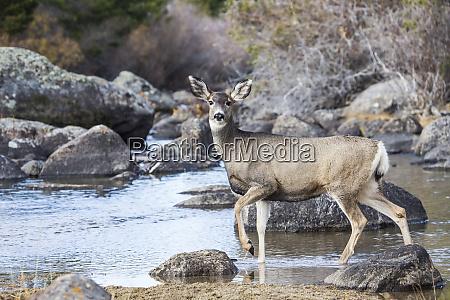 usa wyoming sublette county mule deer