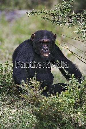 schimpanse pan troglodytes captive sweetwater chimpanzee