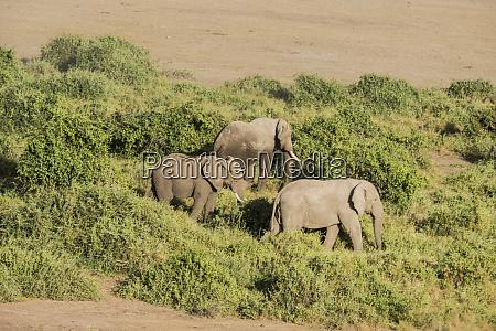ostafrika kenia amboseli nationalpark elefant loxodanta
