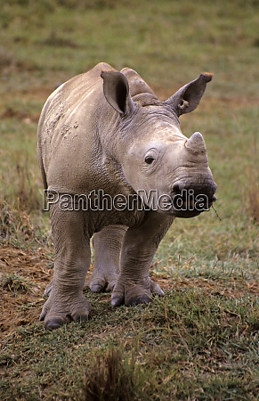east africa kenya young white rhino