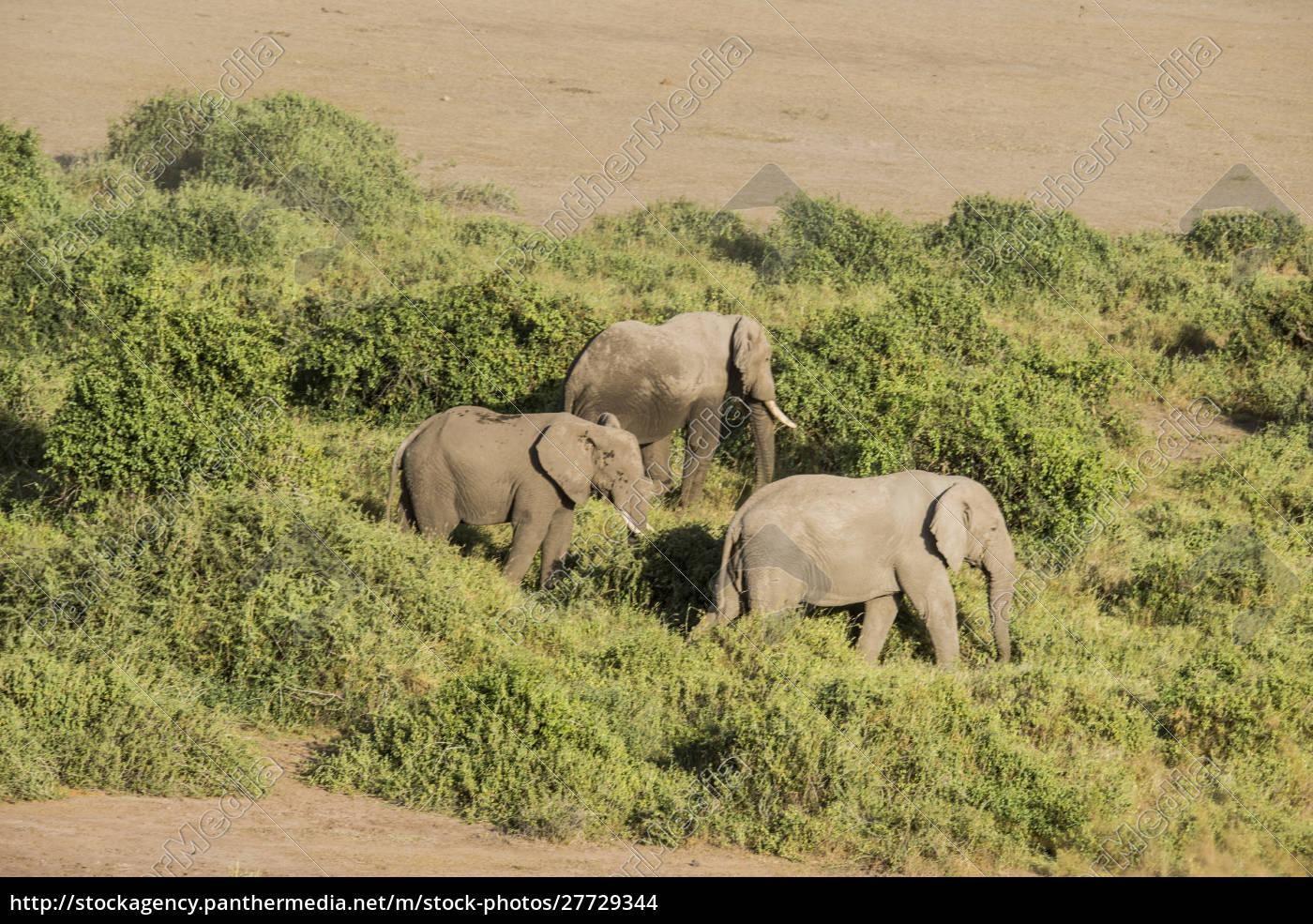 ostafrika, kenia, amboseli, nationalpark, elefant, (loxodanta, africana), (große, formatgrößen - 27729344