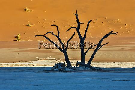 afrika namibia sossusvlei tote akazienbaeume in