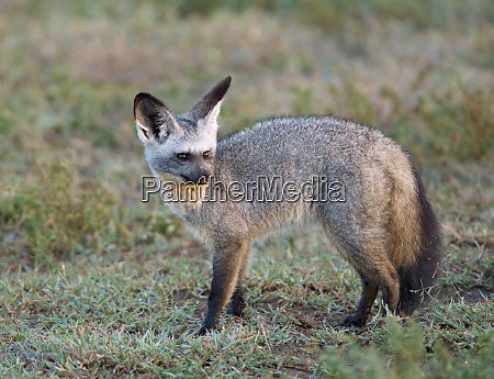 afrika tansania serengeti fledermaus eared fox