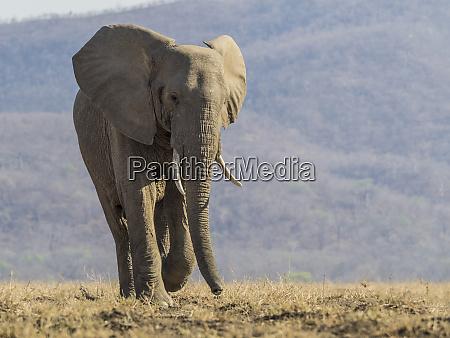 afrika sambia einsamer elefant zu fuss