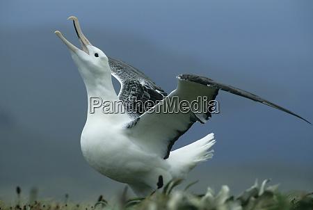 royal albatross diomedea epomophora gamming campbell