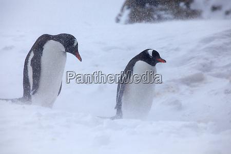 antarktis brown bluff gentoo pinguine im