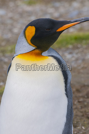 south georgia salisbury plain king penguin