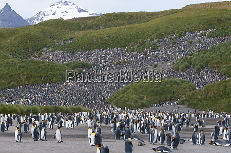 south georgia salisbury plain king penguins
