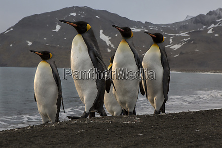 marching king penguins on the beach