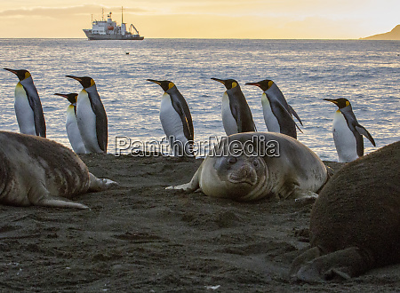 sunrise with marching king penguins on