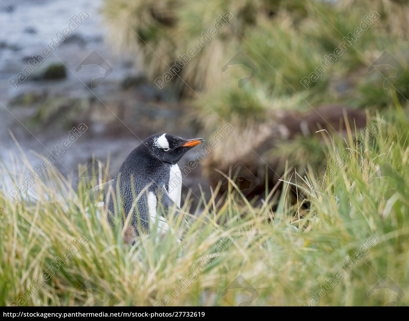 gentoo, pinguin, (pygoscelis, papua), in, tussock - 27732619