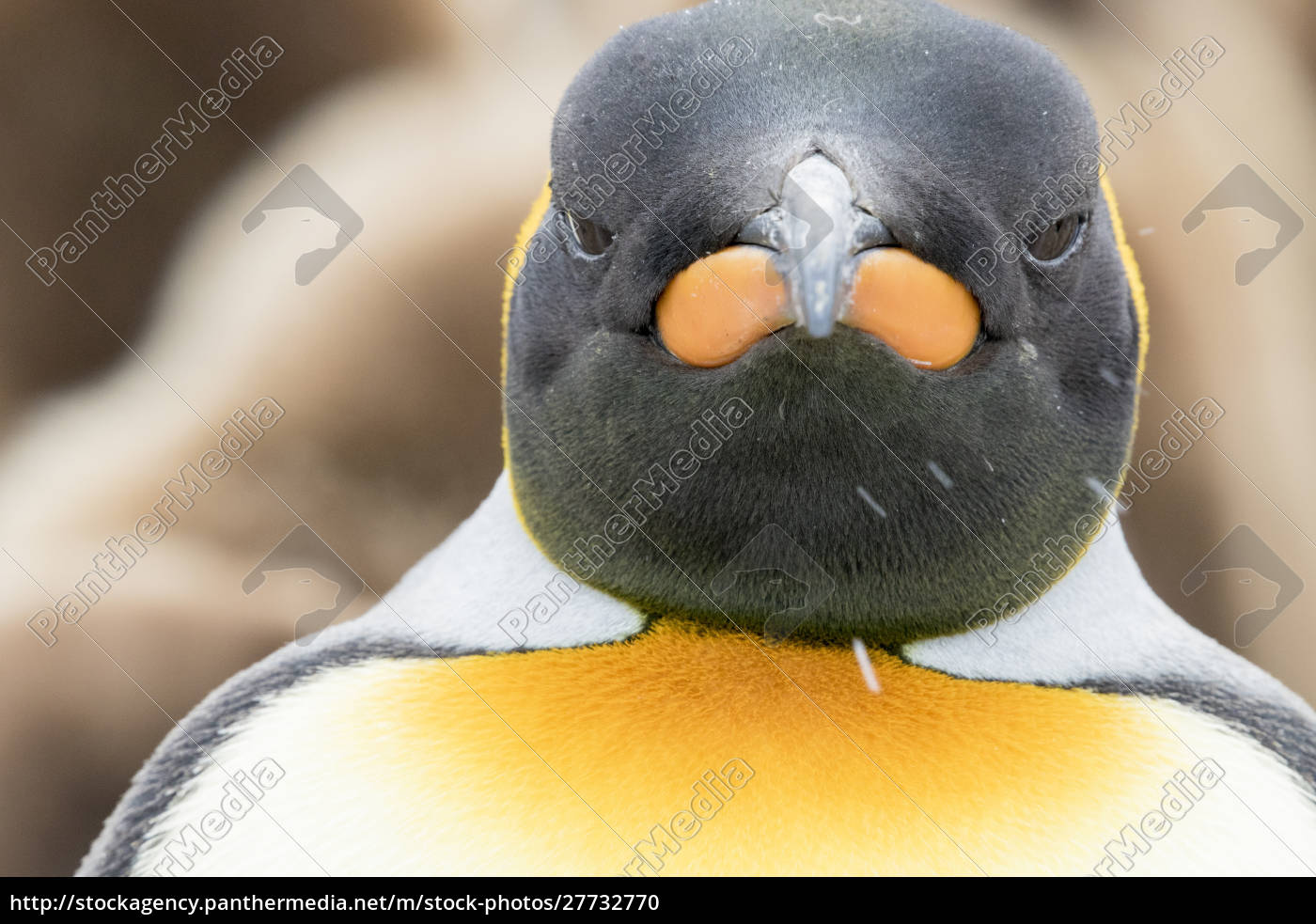 king, penguin, close-up, showing, the, colorful - 27732770