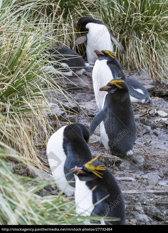 macaroni, pinguin, (eudyptes, chrysolophus), steht, in - 27732484