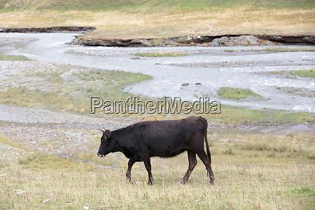 georgia mtskheta juta a cow walking
