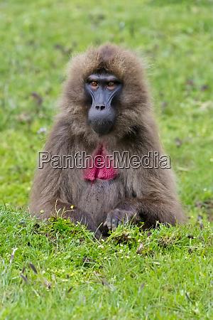 gelada mountain monkey simien mountain AEthiopien
