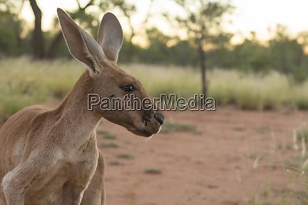 australia alice springs adult female kangaroo