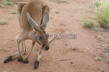 australia alice springs female kangaroo