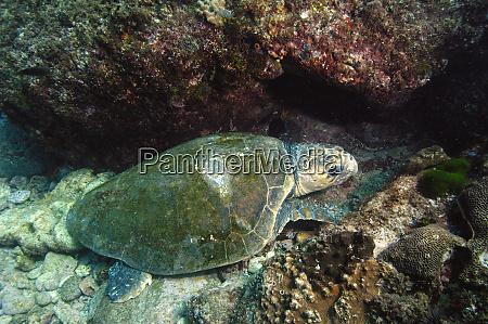loggerhead turtle caretta caretta off of