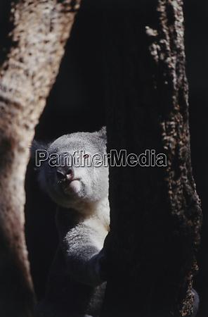 australia queensland koala hiding behind tree