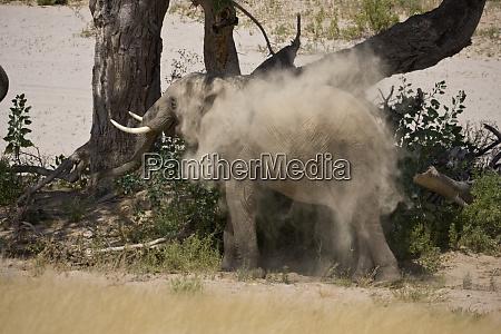 hoarusib valley namibia ein junger bush