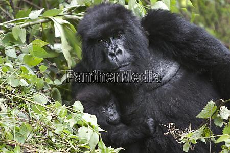 africa rwanda volcanoes national park female
