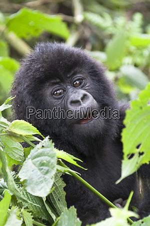 africa rwanda volcanoes national park young