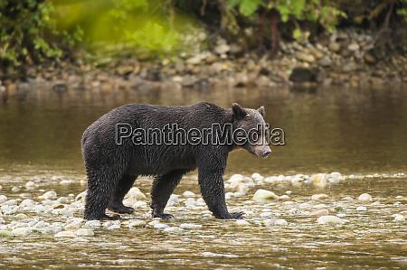 brown or grizzly bear ursus arctos