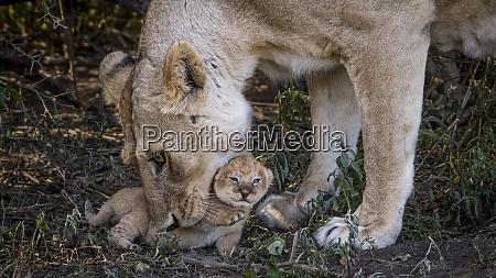 africa tanzania ngorongoro conservation area lioness