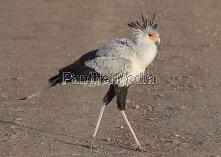 africa tanzania ngorongoro crater secretary bird