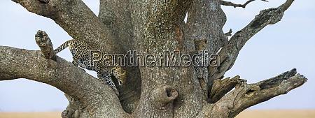 africa tanzania african leopard panthera pardus