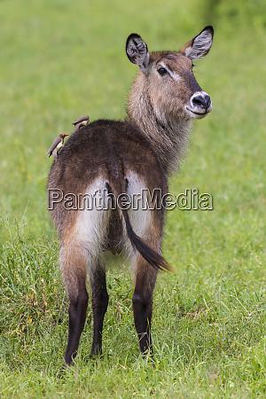africa tanzania waterbuck kobus ellipsiprymnus a