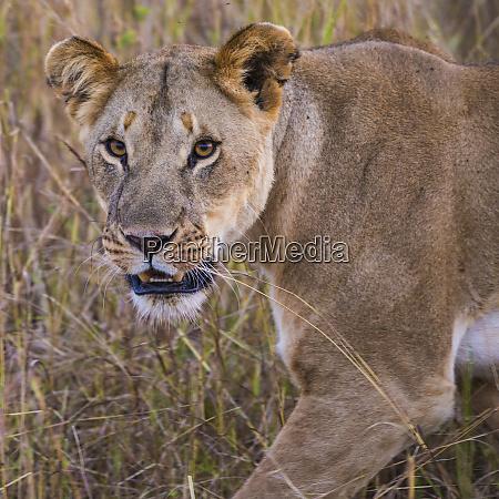 africa tanzania african lioness panthera leo