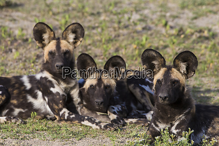 africa tanzania african wild dogs lycaon