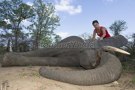 tranquilized elephant loxodonta africana and capture