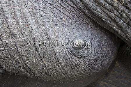 tranquilized elephant loxodonta africana mammary gland