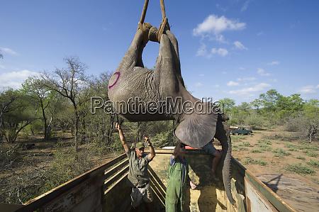 tranquilized elephants loxodonta africana loaded into