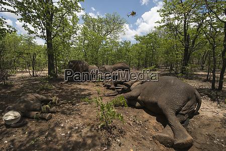 tranquilized elephants and capture team elephants