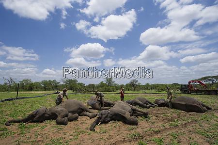 tranquilized elephants waking up loxodonta africana