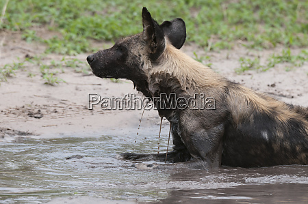 wilder hund lycaon pictus khwai concession