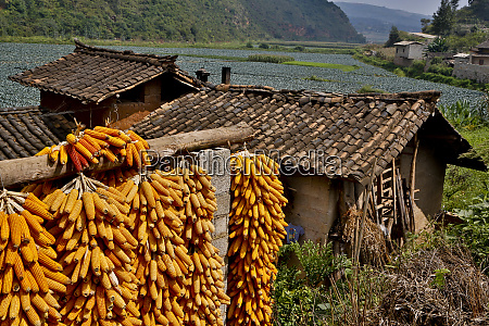 harvested corn hanging to cure near