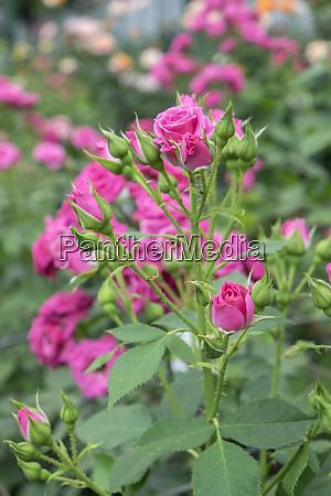 lovely lydia spray rose vereinigte staaten