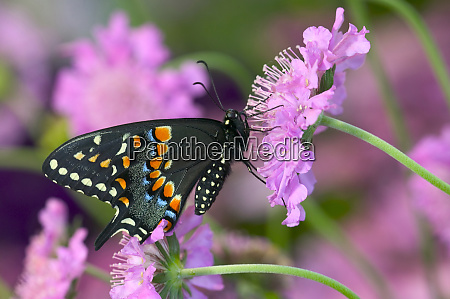 black swallowtail butterfly papilio polyxenes
