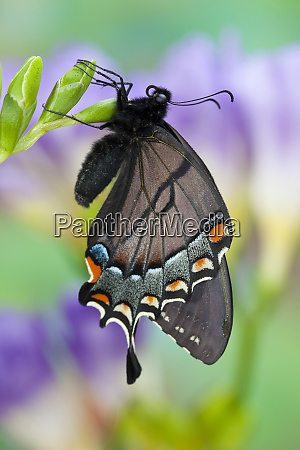 eastern tiger swallowtail black form papilio
