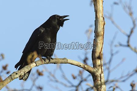 crow calling