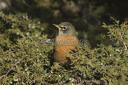 amerikanischer robin turdus migratorius weiblich auf