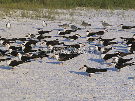 black skimmer rynchops niger adults at
