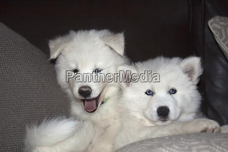 sibirische husky welpen pr