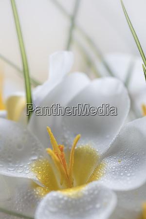 usa washington state seabeck crocus blooms