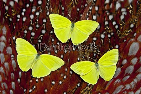 trio sulfur butterflies on tragopan body