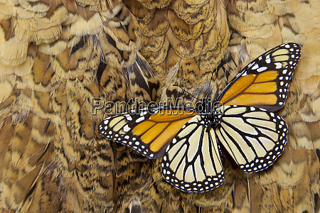 underside monarch butterfly on ring necked